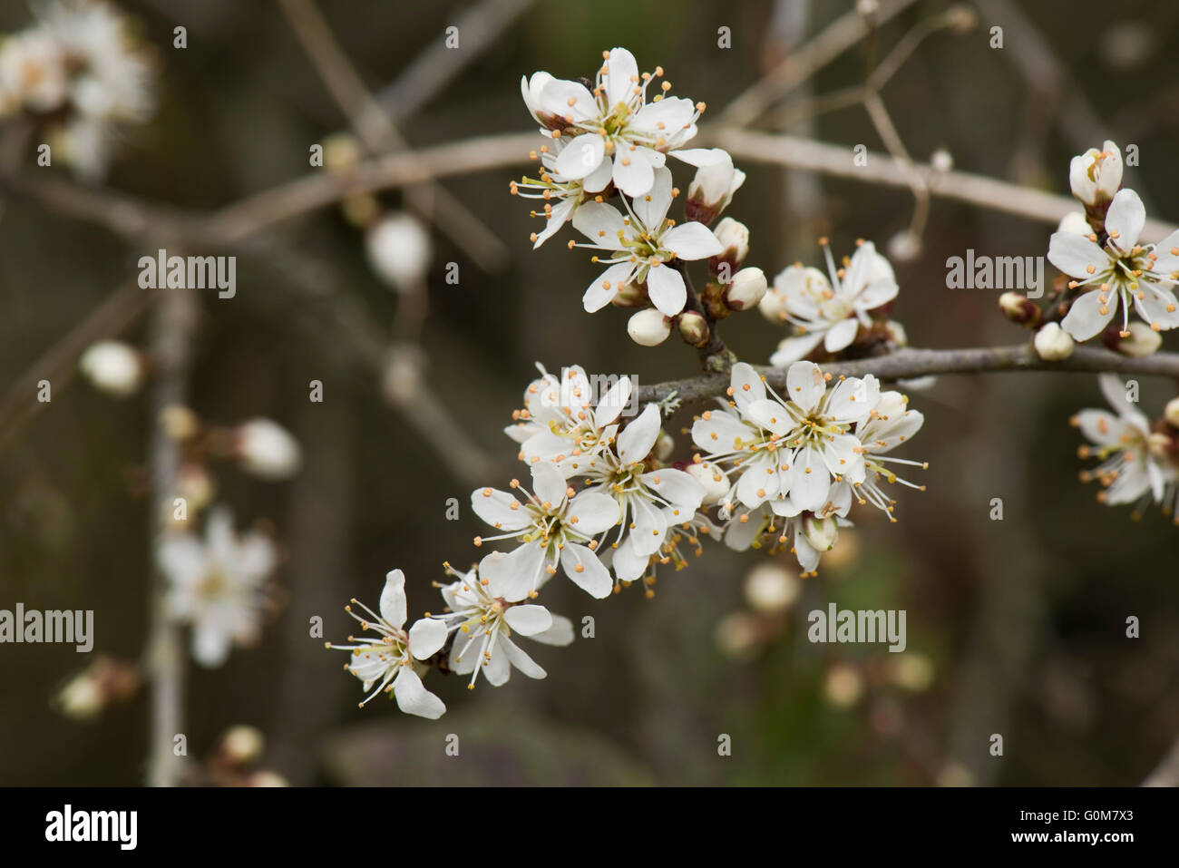 Flowers on blackthorn or sloe, Prunus spinosa, on a leafless hedge bush in spring, Berkshire, April Stock Photo