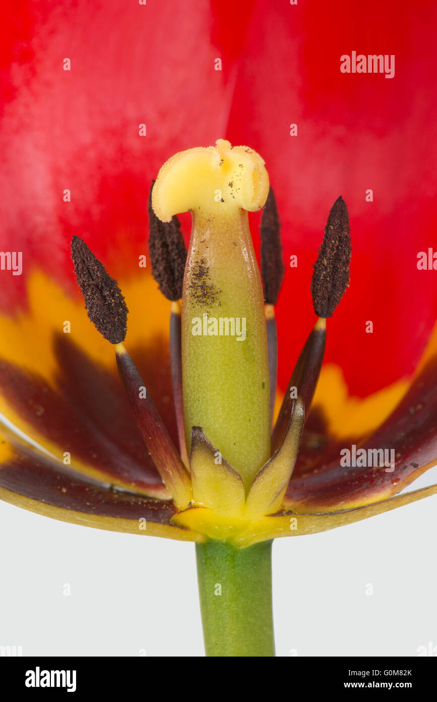Section cut through a red tulip flower showing mature anthers and style with distinct black and yellow markings - Stock Image