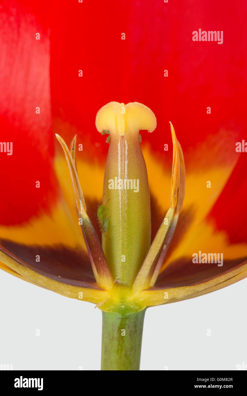 Section cut through a red tulip flower showing immature anthers and style with distinct black and yellow markings - Stock Image