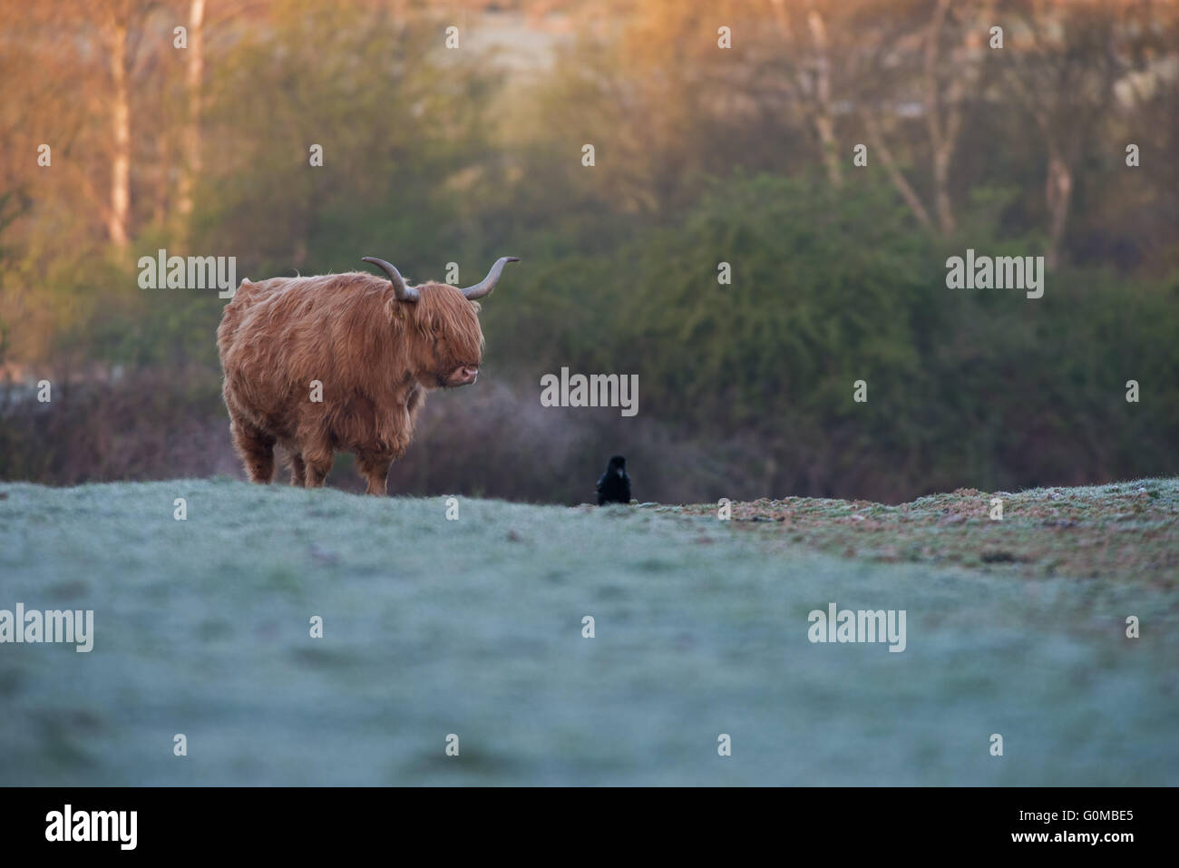 Highland Catlle-Bos Taurus looks upon a Carrion Crow- Corvus Corone on a frosty morning at  sunrise. Spring. Uk - Stock Image