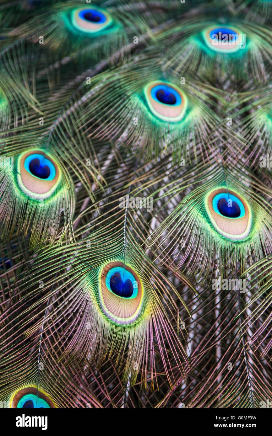 eyes of peacock feathers, Tivoli Gardens, Copenhagen - Stock Image