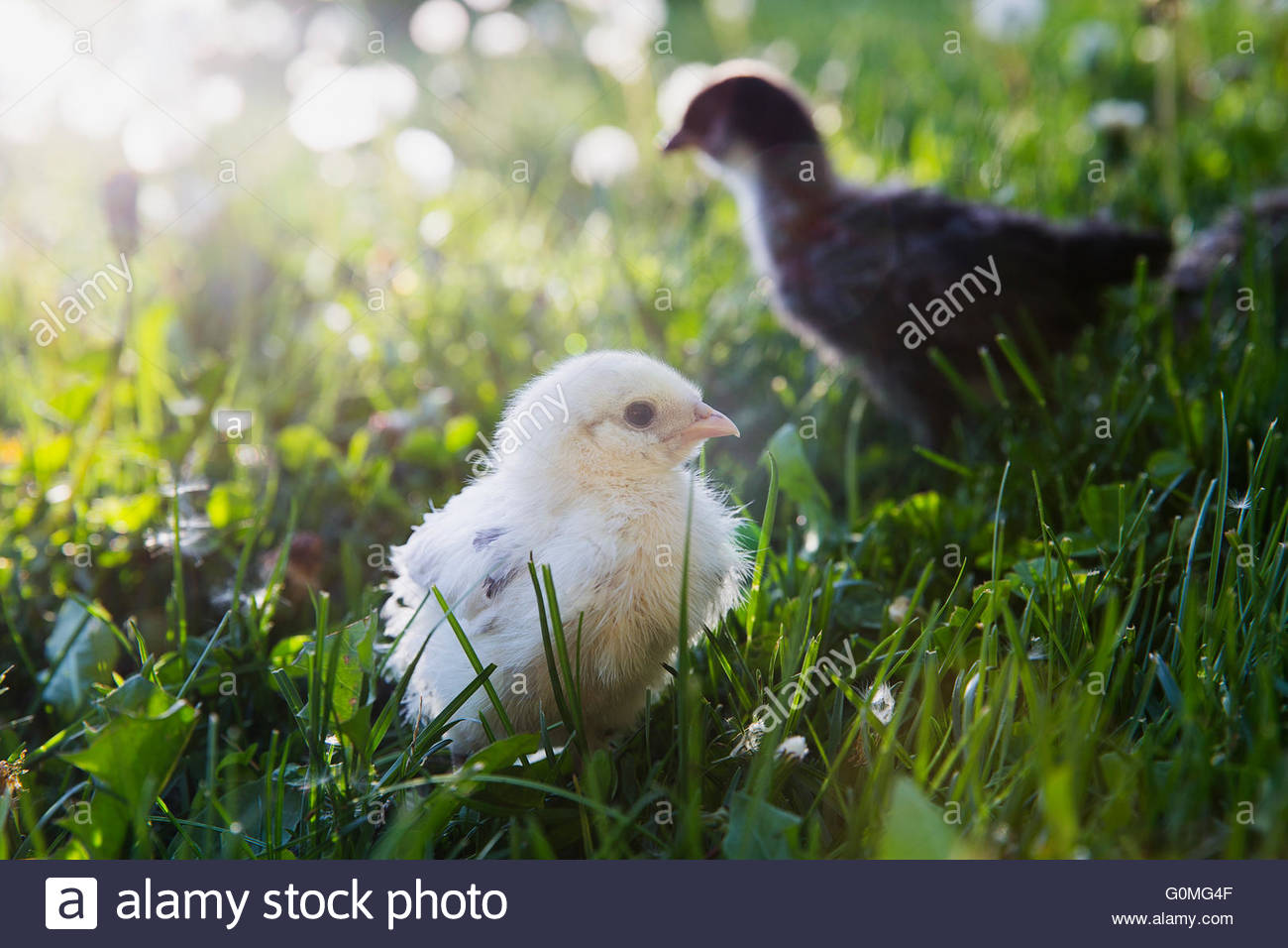 Fuzzy yellow chick in sunny grass - Stock Image