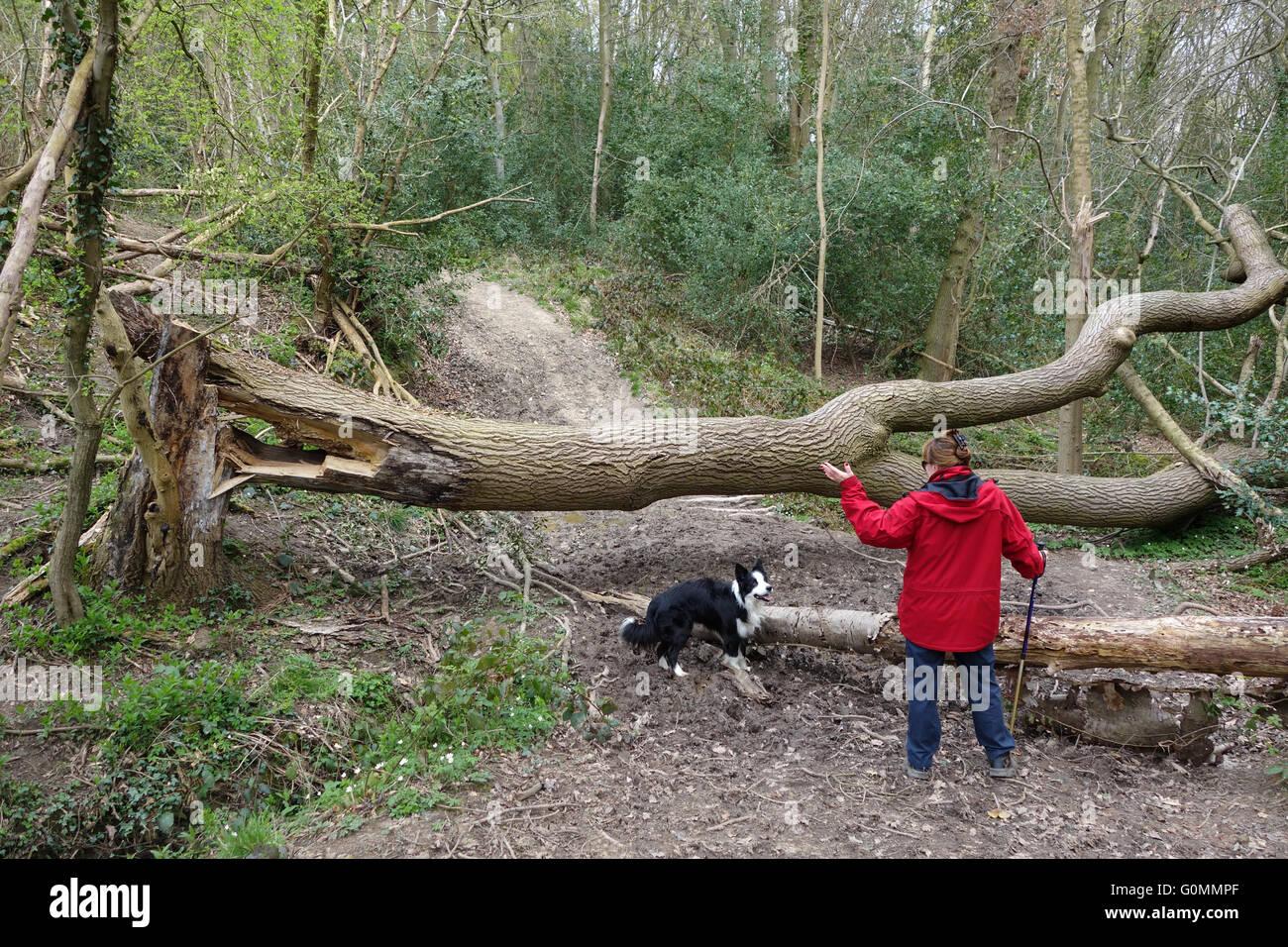Fallen diseased Ash Tree in Shropshire Woodland England Uk Stock Photo