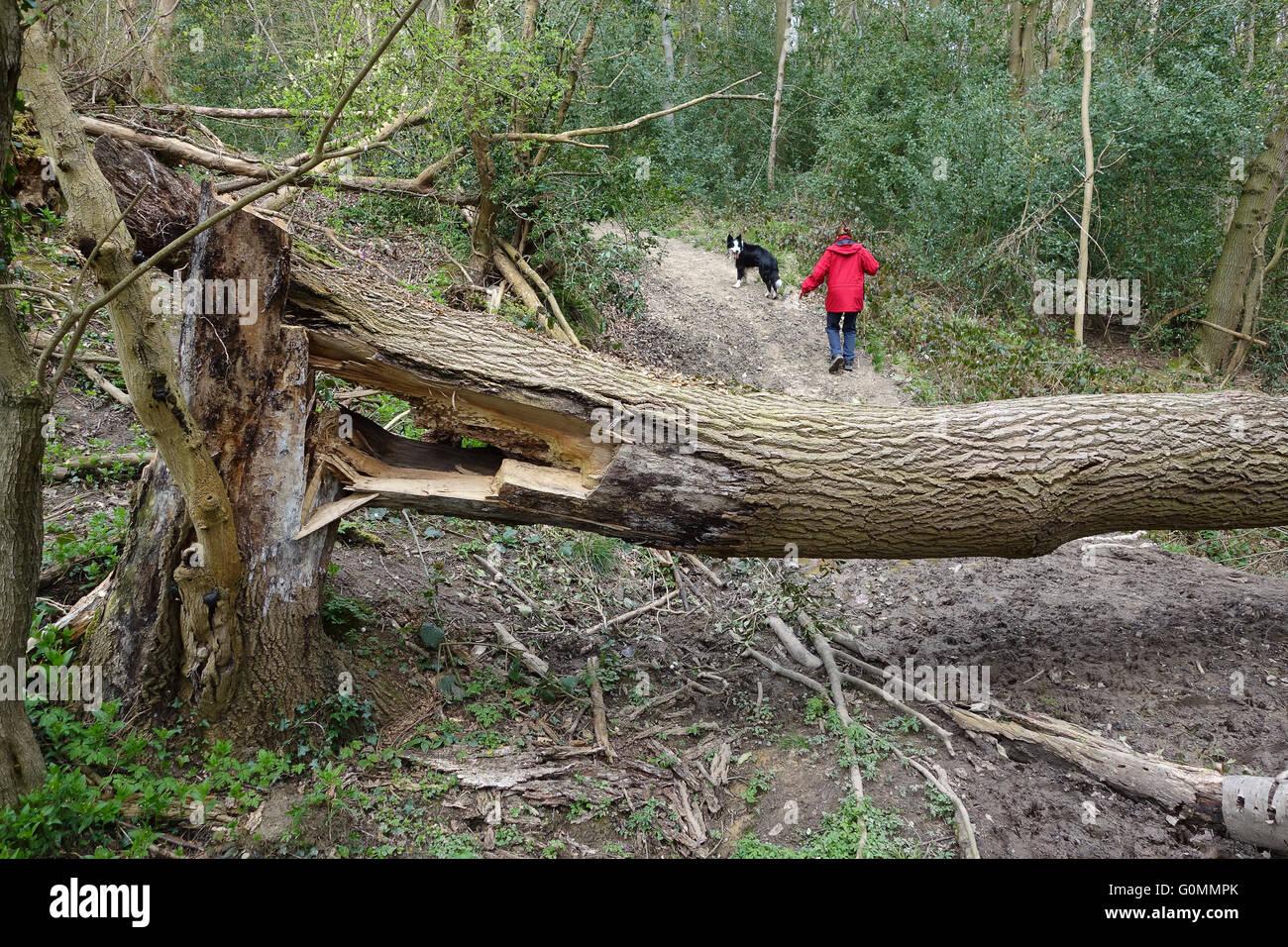 Fallen diseased Ash Tree in Shropshire Woodland England Uk - Stock Image