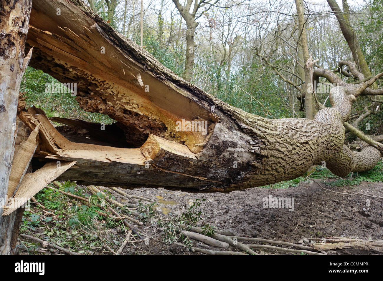 Fallen diseased Ash Tree in Shropshire Woodland England Uk Stock Photo