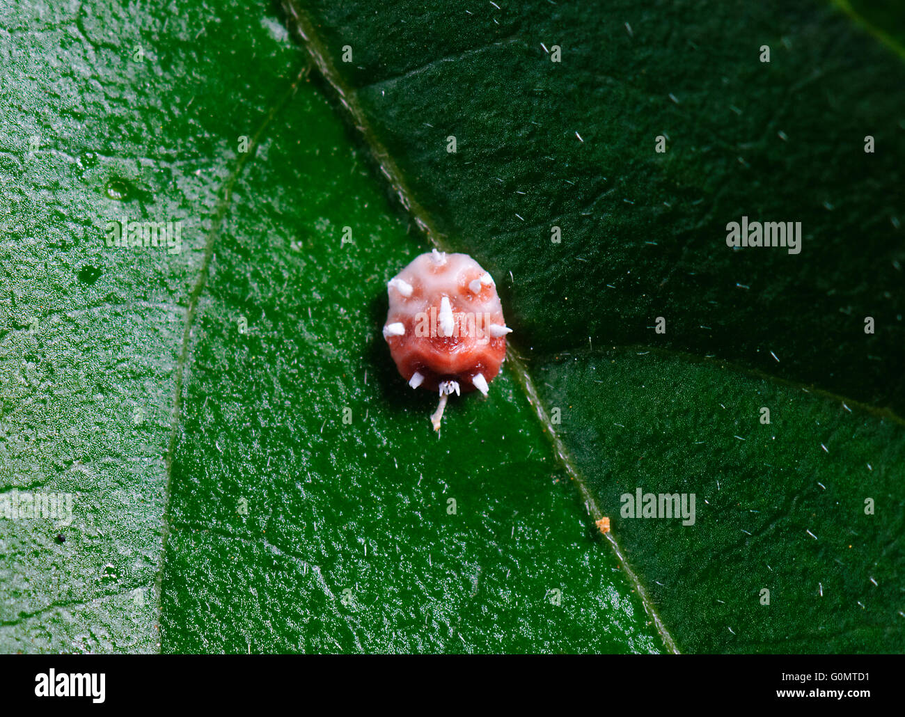 Pink Wax Scale Insect, Ceroplastes rubens, New South Wales, Australia - Stock Image