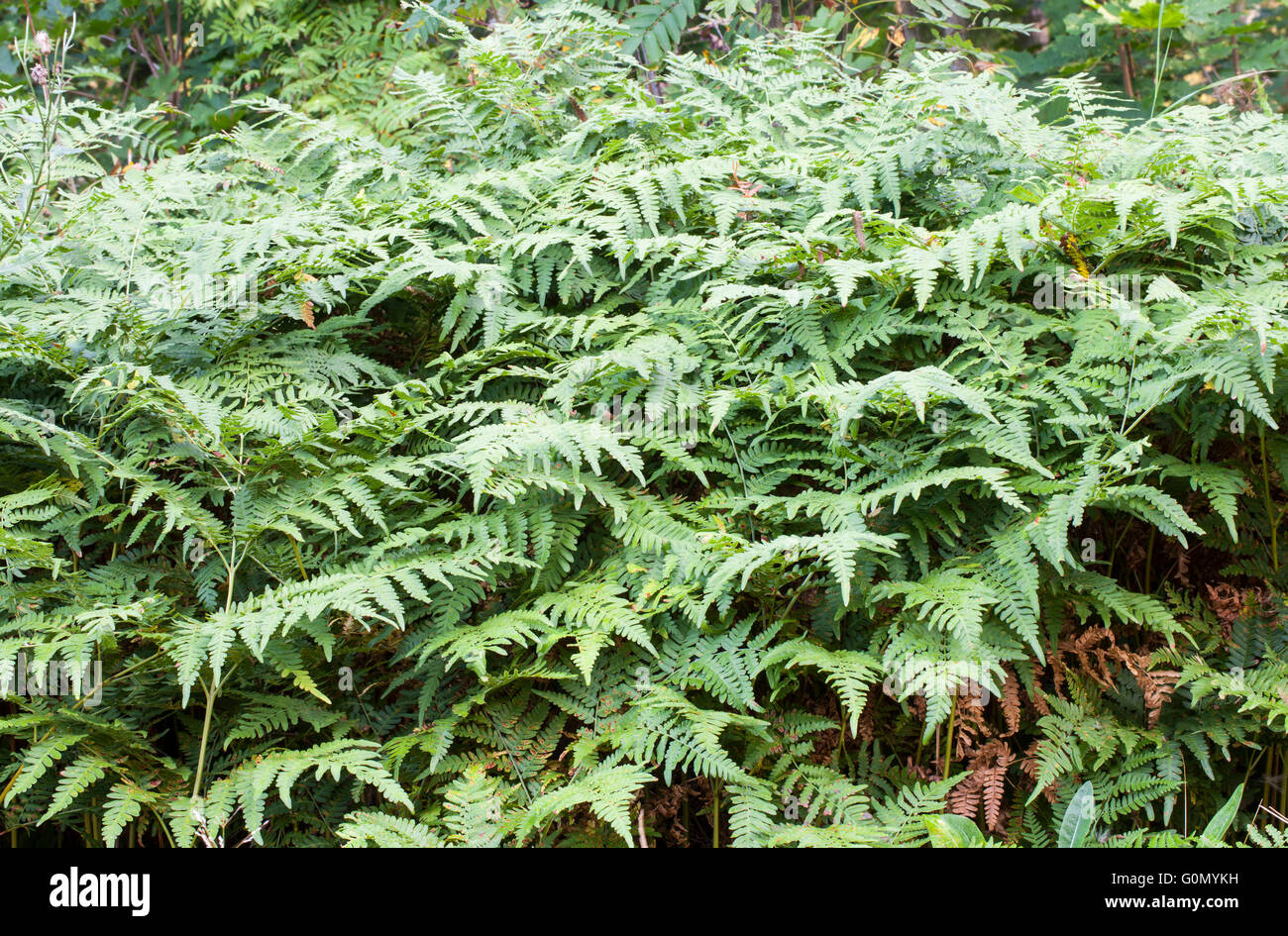 Common bracken (Pteridium aquilinum) - Stock Image