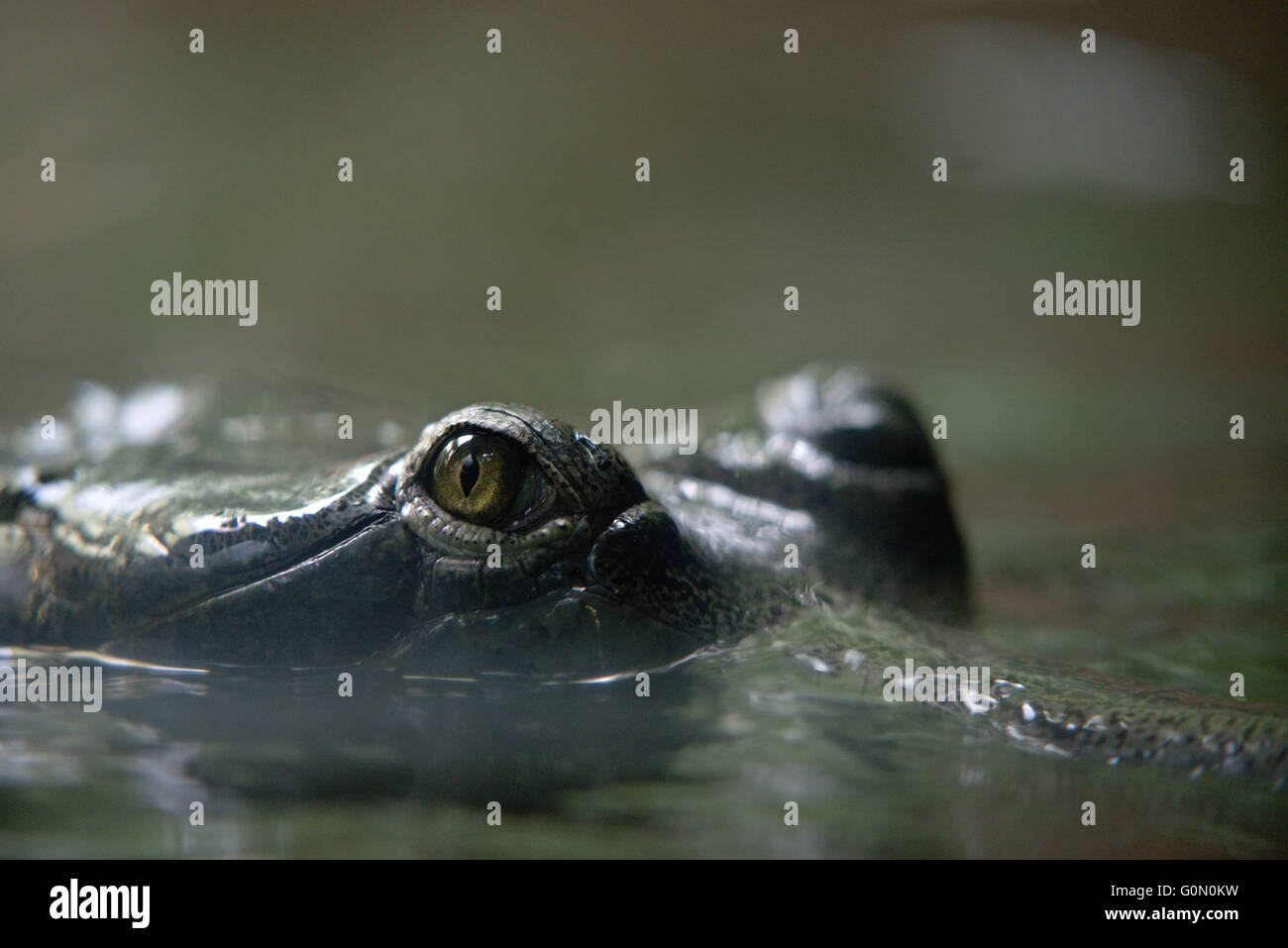 eye of crocodile in prague zoo in czech republic stock image