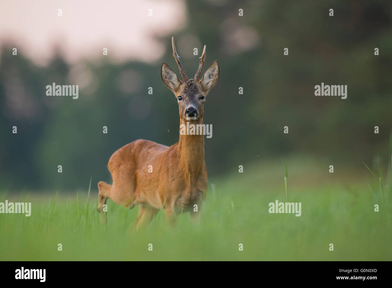 Roe deer in the meadow - Stock Image
