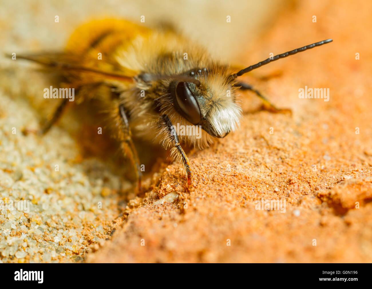 Red mason bee (Osmia bicornis) on a brick wall Stock Photo