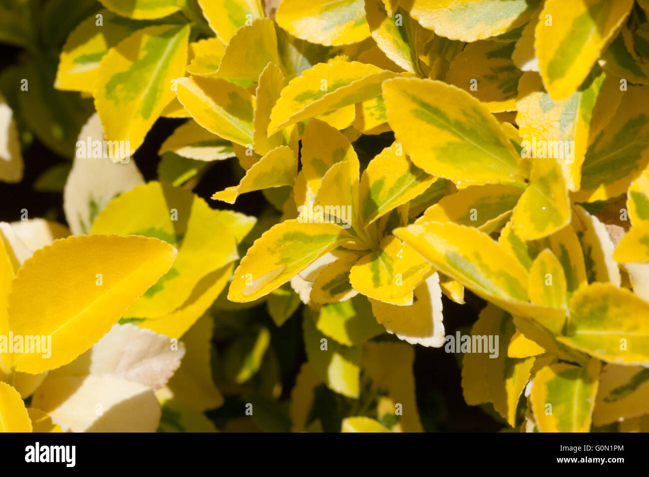 Euonymus fortunei emerald 'n' gold shrub close up - Stock Image