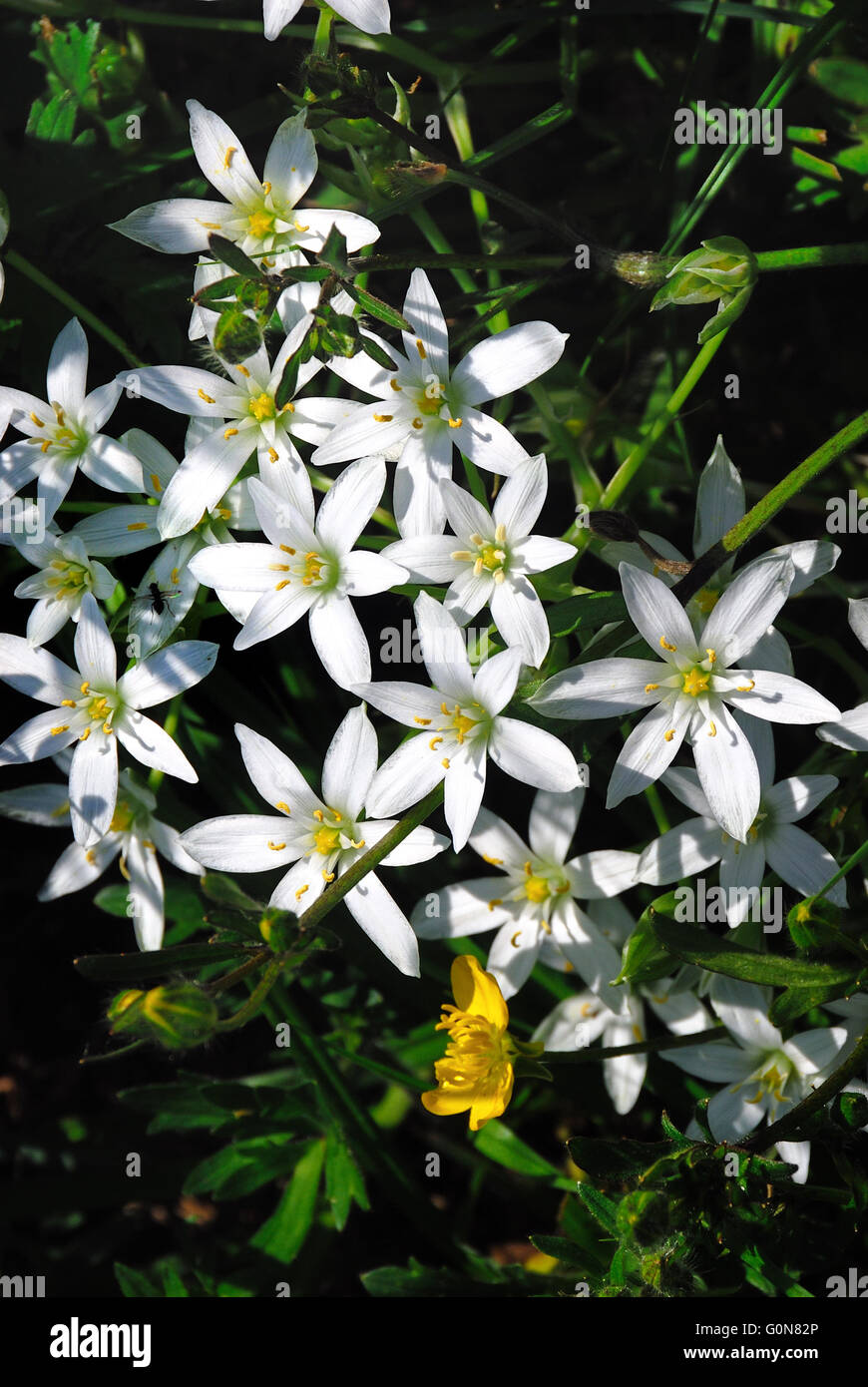 White star shaped flowers stock photos white star shaped flowers ornithogalum umbellatum is a genus of perennial plants mostly native to southern europe and southern africa mightylinksfo