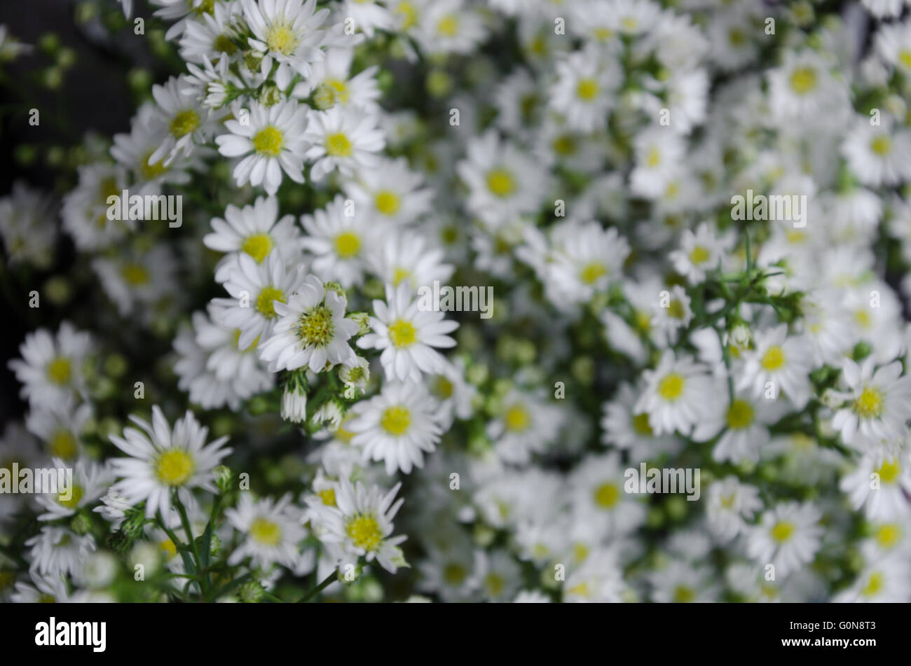 White aster flowers in blurry background stock photo 103730147 alamy white aster flowers in blurry background mightylinksfo