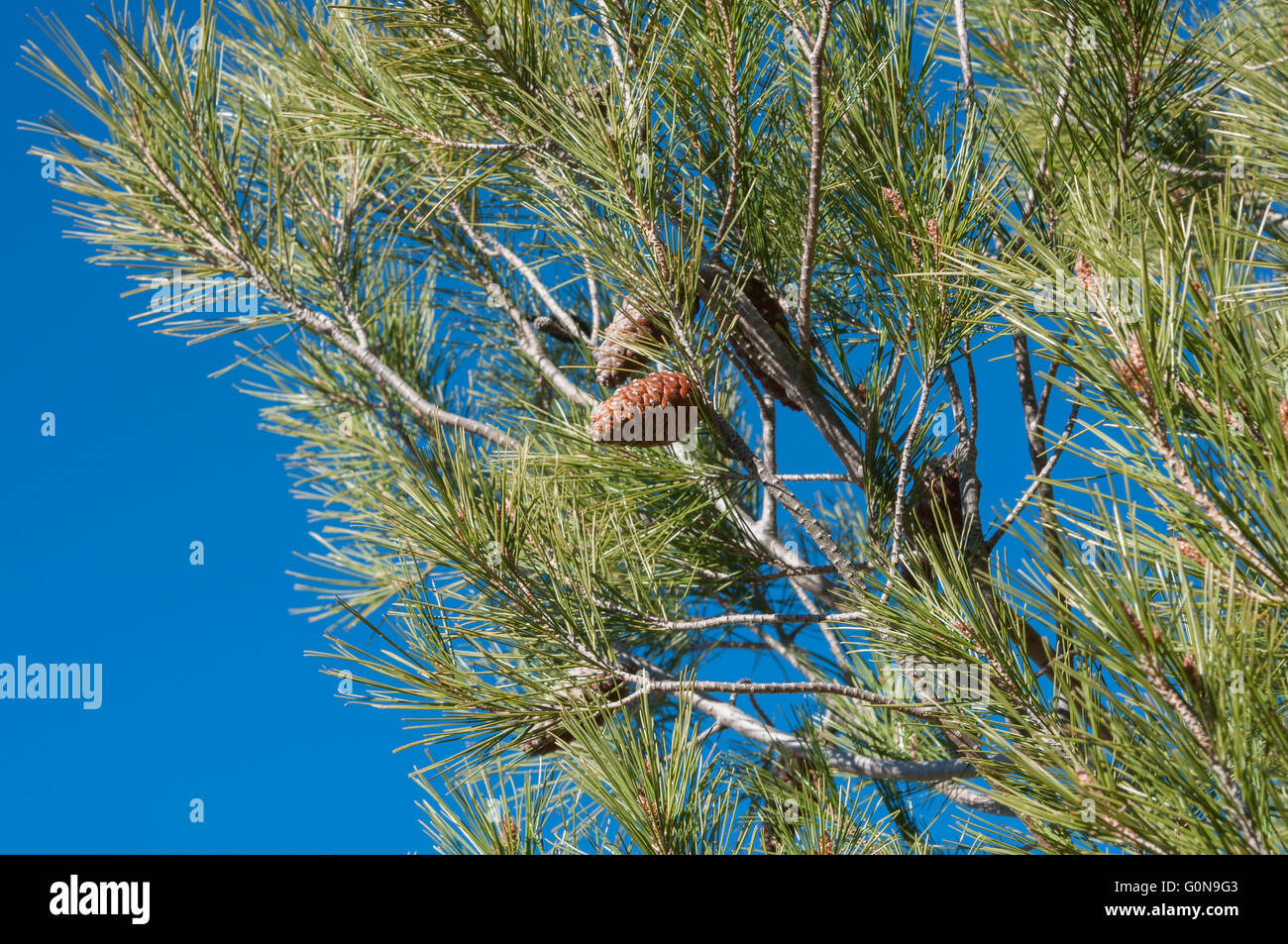 Detail of leaves, branches and cones of Aleppo Pine, Pinus halepensis - Stock Image