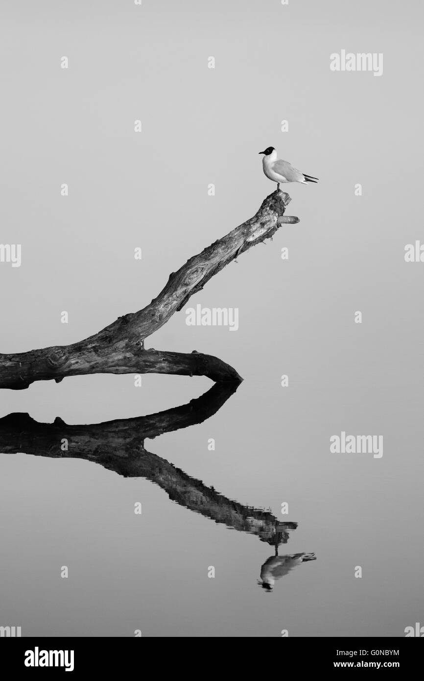 Bird on a branch in the river with reflection. Black and white. Stock Photo