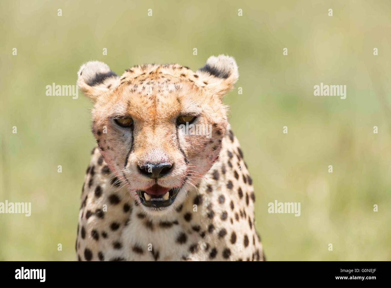 Portrait of cheetah - Stock Image