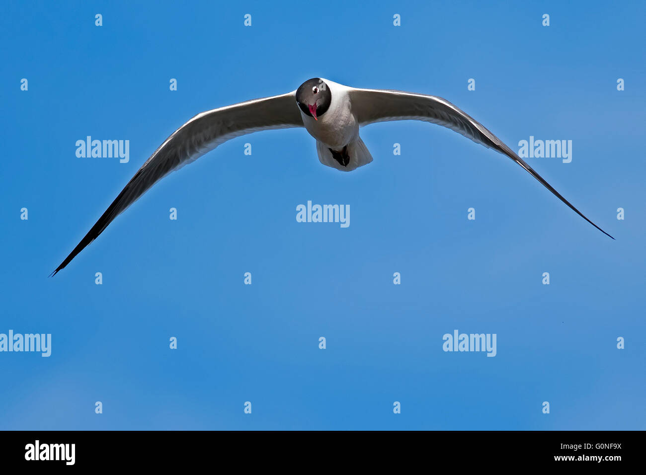 Laughing Gull in Flight - Stock Image