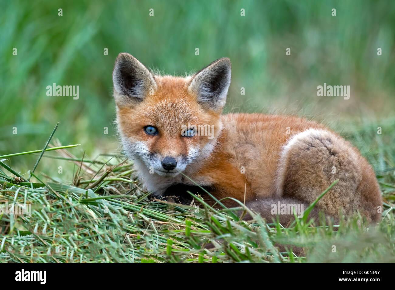 Red Fox Kit - Stock Image