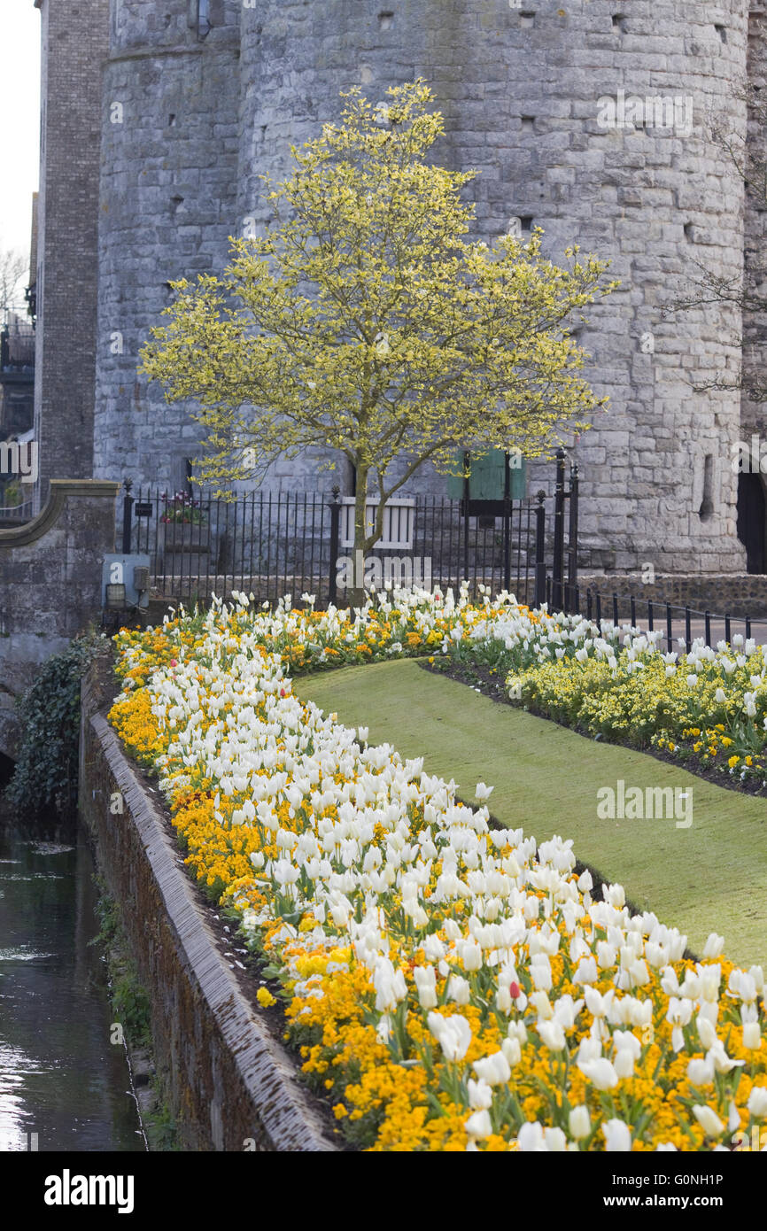 Tulips along the riverside walk with stone entrance, one of the original entrances to the city of Canterbury Stock Photo