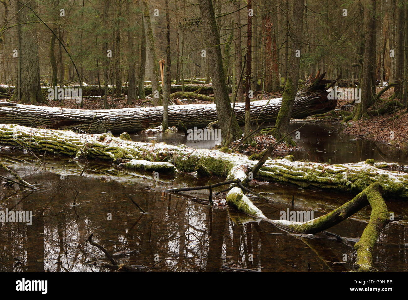 Spring landscape of old forest and broken trees lying in melting snow and water,Bialowieza Forest,Poland,Europe - Stock Image