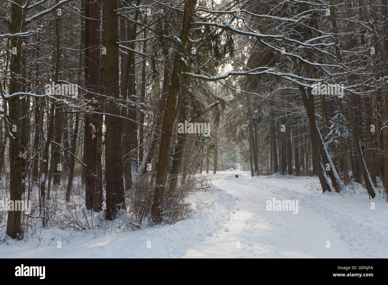 Snowy road between two spruces in winter Palace Park,Bialowieza,Poland,Europe - Stock Image