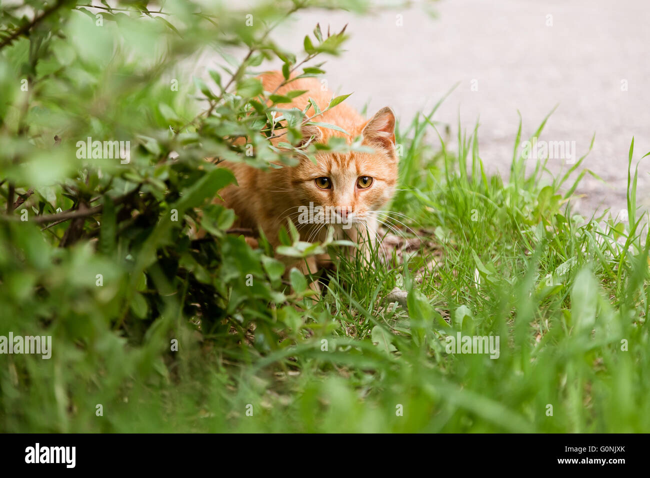 Portrait of frightened cat hunting in the lawn - Stock Image