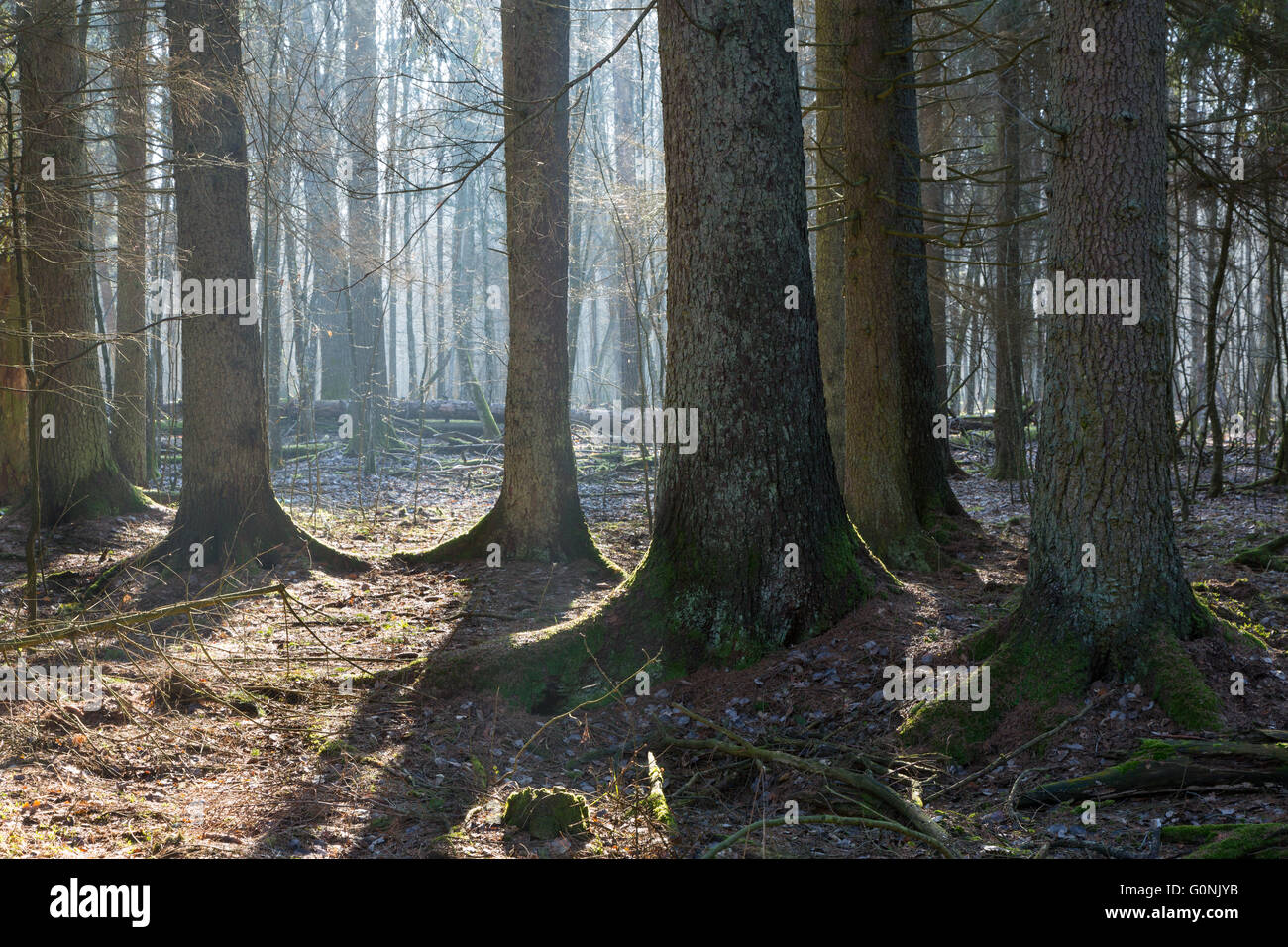 Coniferous stand in morning with old spruces some lying broken in background,Bialowieza Forest,Poland,Europe - Stock Image