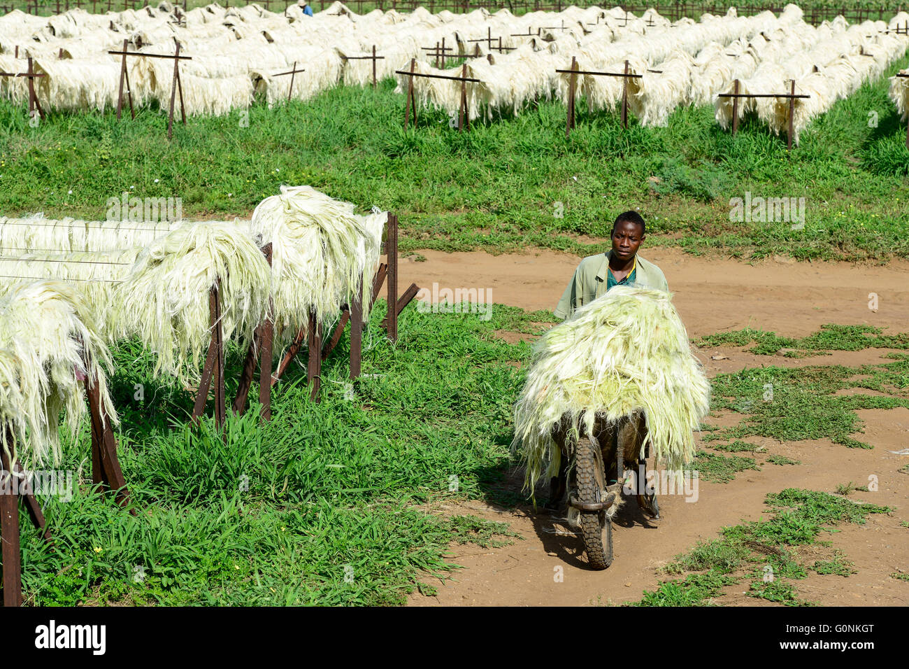 TANZANIA Tanga, Usambara Mountains, Sisal farming and industry, D.D. Ruhinda & Company Ltd., Mkumbara Sisal estate, Stock Photo