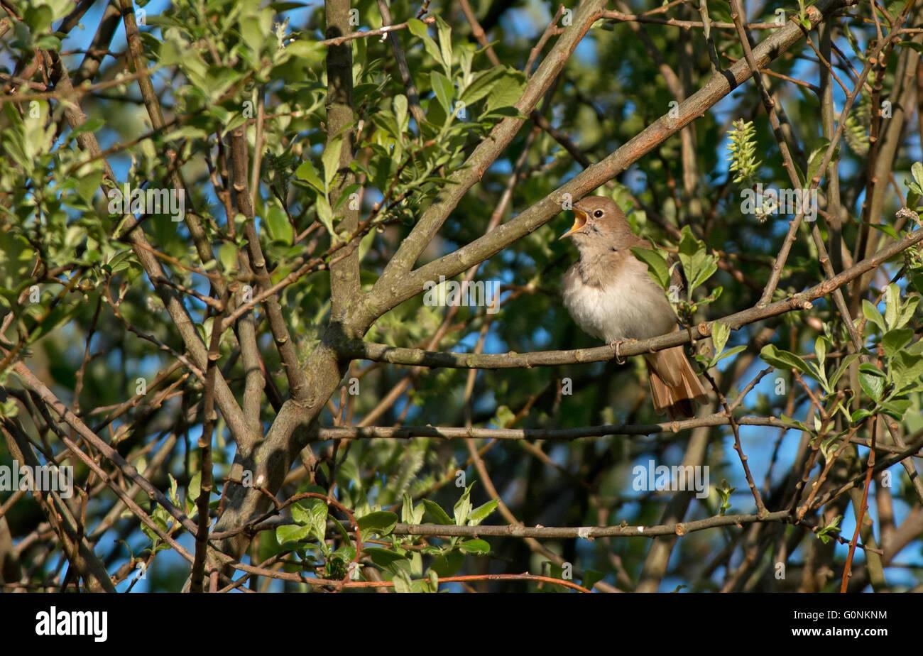 Nightingale, Luscinia megarhynchos In Song. Spring. UK - Stock Image
