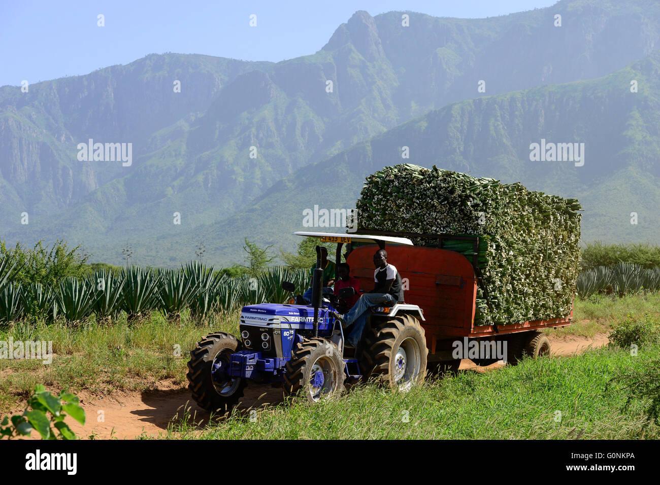 TANZANIA Tanga, Usambara Mountains, Sisal farming and industry, D.D. Ruhinda & Company Ltd., Mkumbara Sisal estate, Stock Photo