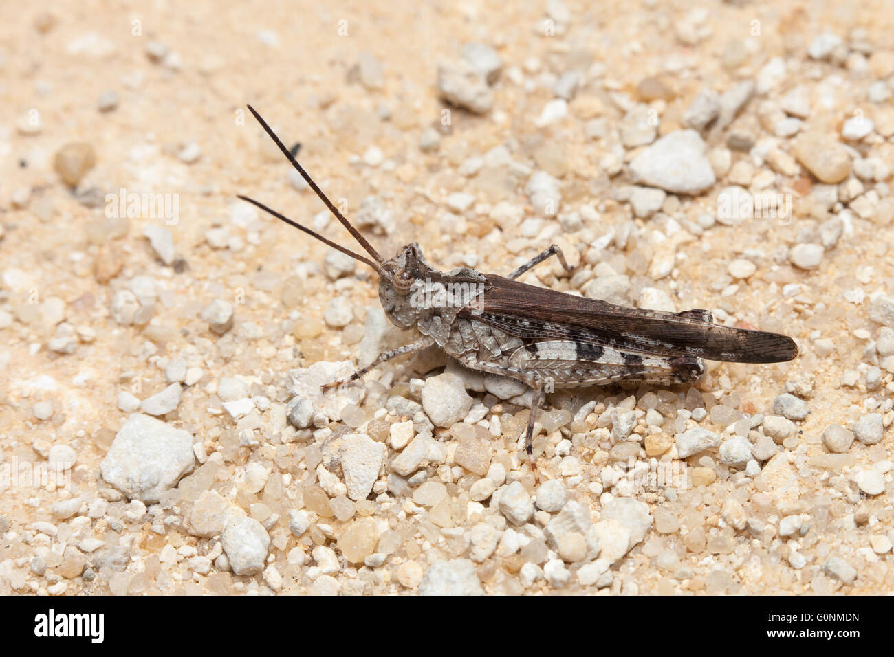 A Long-horned Grasshopper (Psinidia fenestralis) perches in the middle of a sandy road. - Stock Image