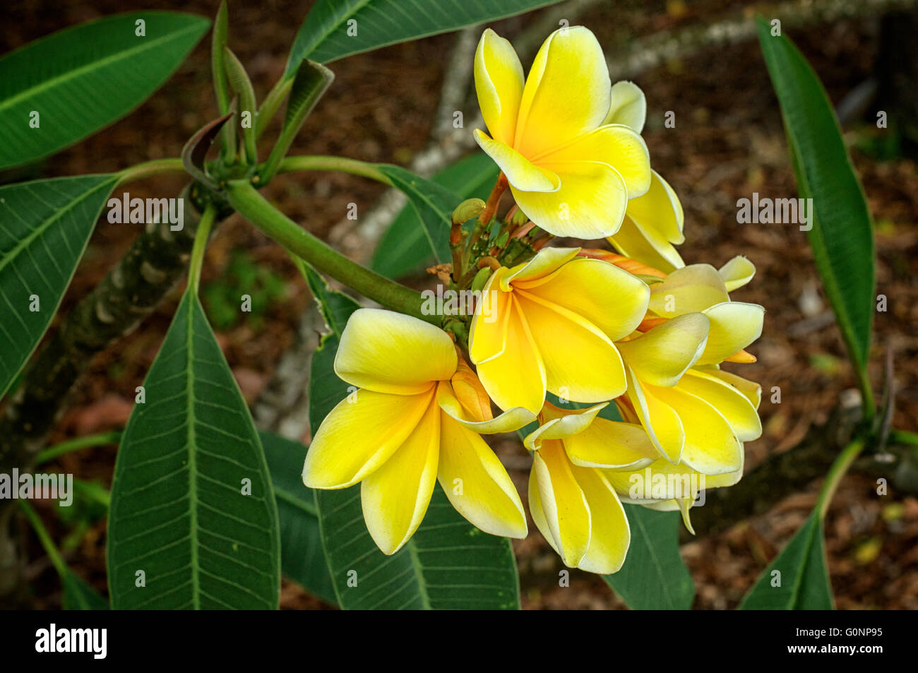 A Cluster Of Beautiful Yellow Plumeria Flowers In Bloom In Spring