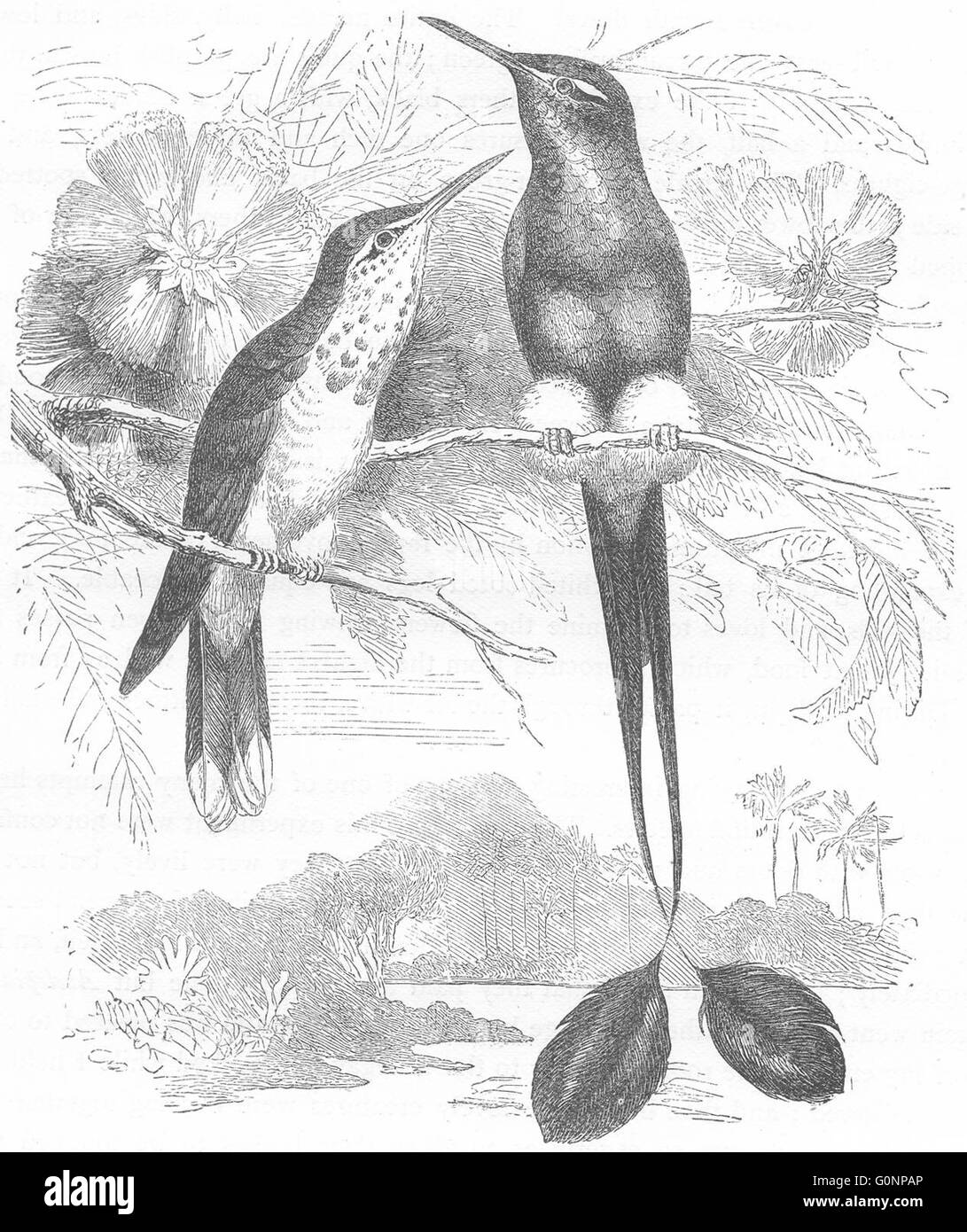 SEARCHERS: Hummingbird: White Footed Racket-Tail, antique print c1870 - Stock Image