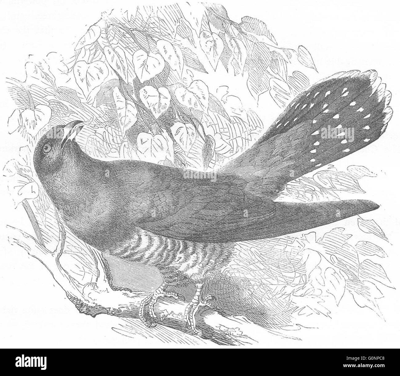 BIRDS: Searcher: Cuckoo, antique print c1870 - Stock Image