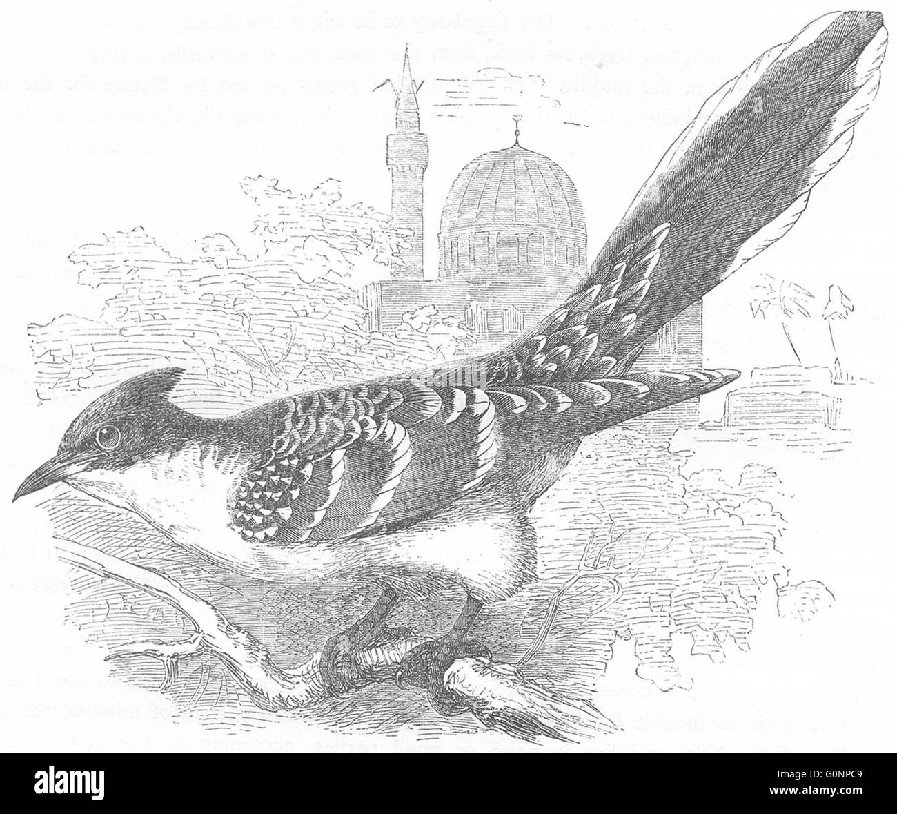 BIRDS: Searcher: Cuckoo: Jay, antique print c1870 - Stock Image