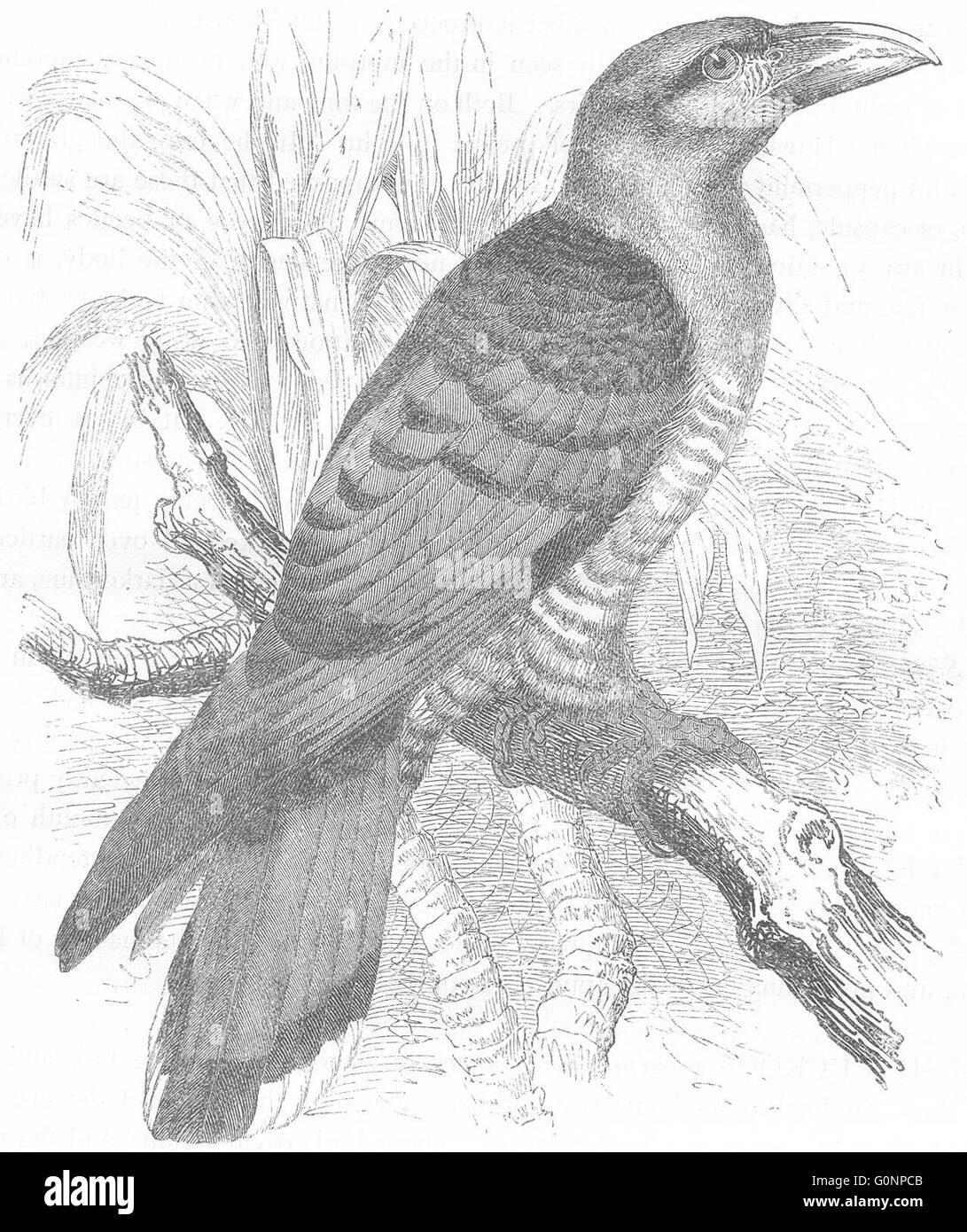BIRDS: Searcher: Cuckoo: Giant, Channel-Bill, antique print c1870 - Stock Image