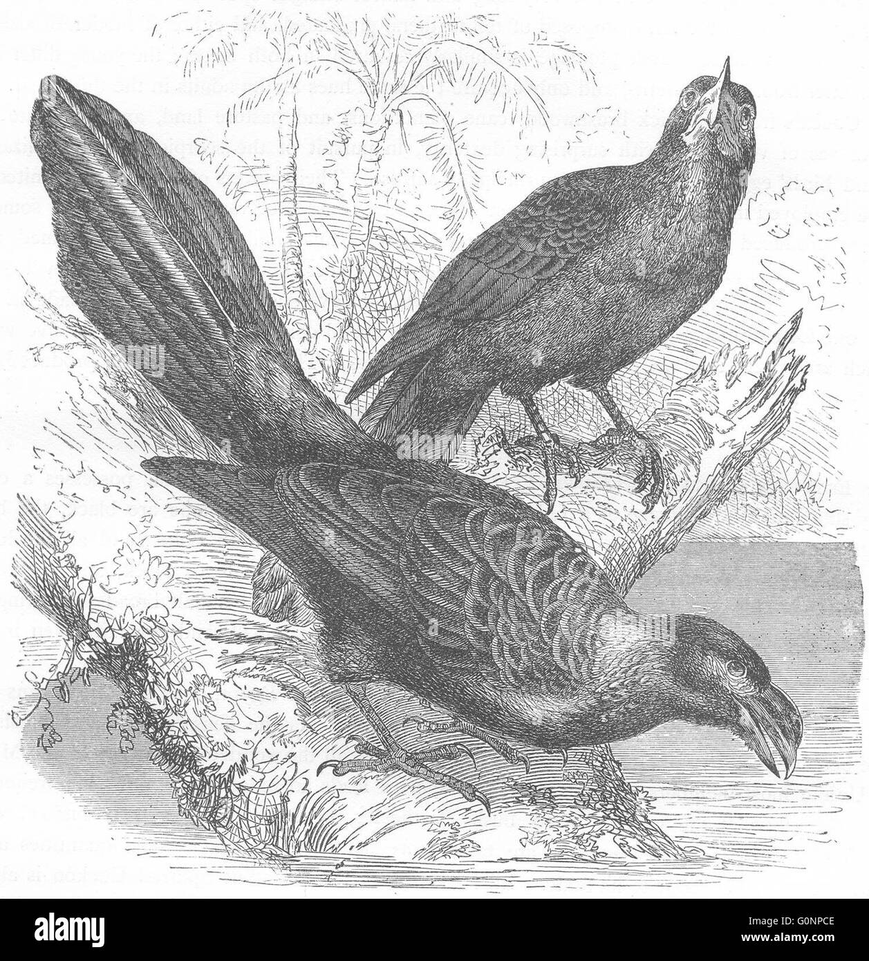 BIRDS: Searcher: Cuckoo: Wrinkled-beaked Tick-eater, antique print c1870 - Stock Image