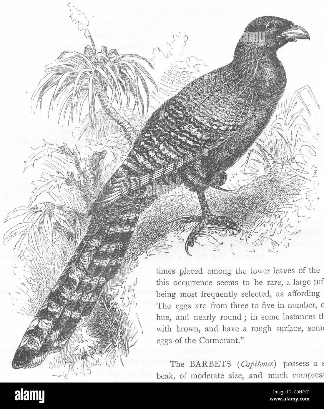 BIRDS: Searcher: Cuckoo: Pheasant Coucal, antique print c1870 - Stock Image