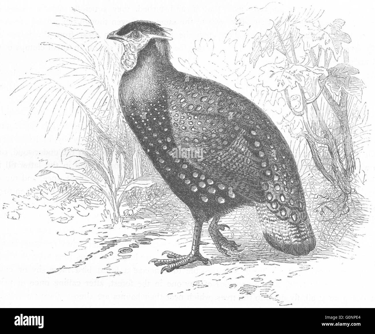 SIKKIM: Gallinaceous Phasianidae: Horned Pheasant, antique print c1870 - Stock Image