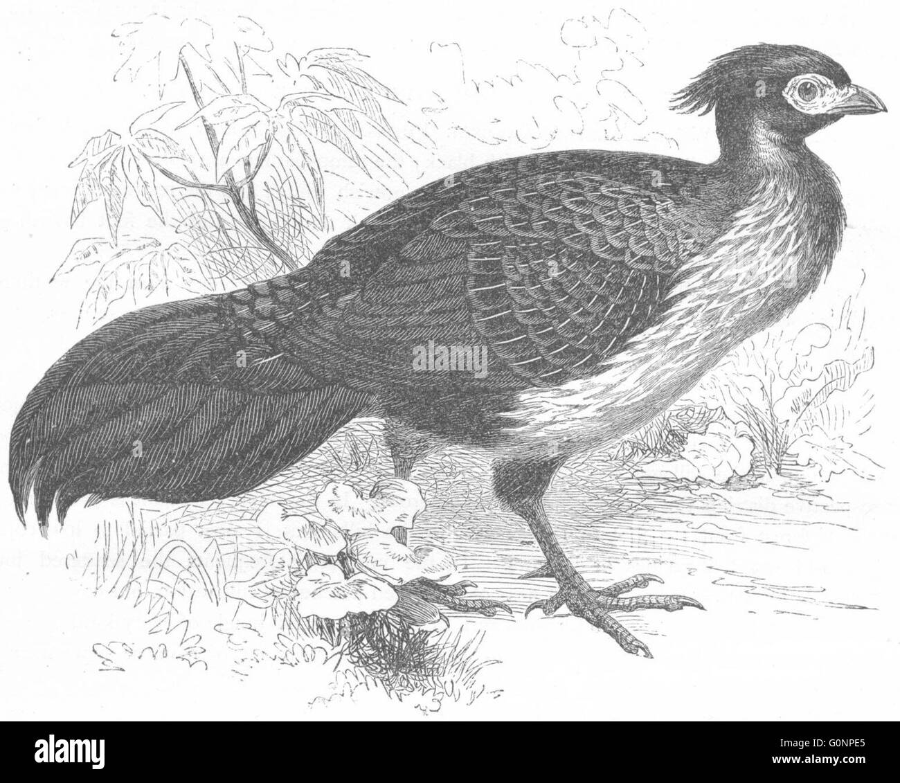 GALLINACEOUS PHASIANIDAE: Kaleege, Black Pheasant, antique print c1870 - Stock Image