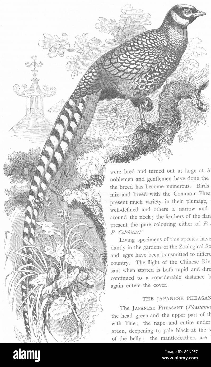 GALLINACEOUS BIRDS: Phasianidae: Reeves Pheasant, antique print c1870 - Stock Image