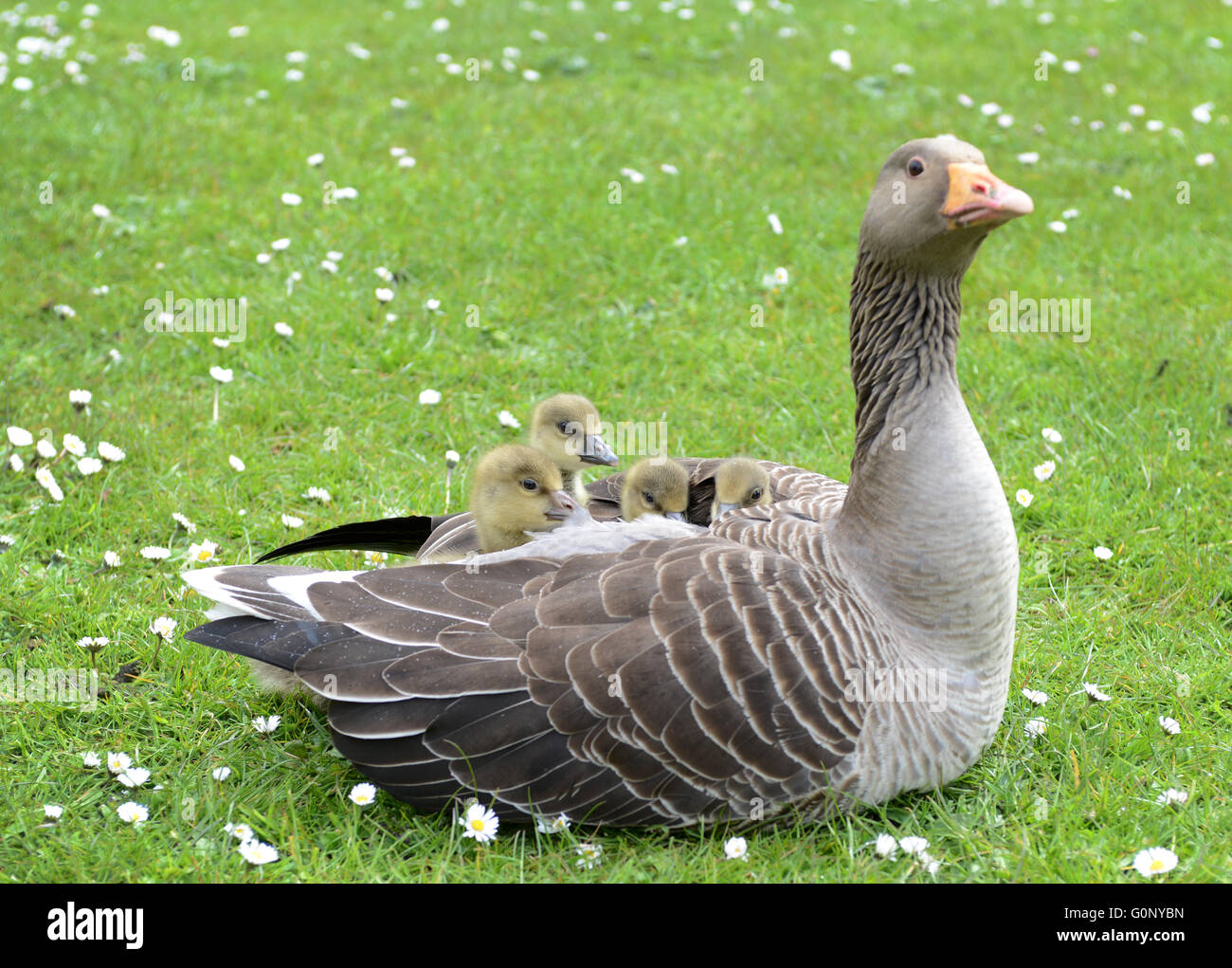 A goose protecting her young chicks. - Stock Image