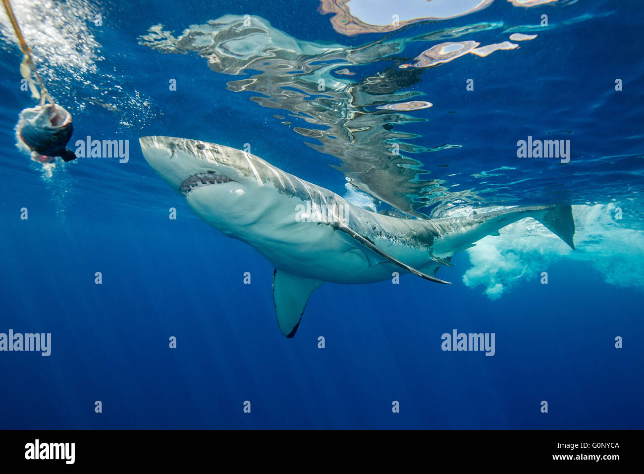 Great white shark underwater at Guadalupe Island, Mexico - Stock Image