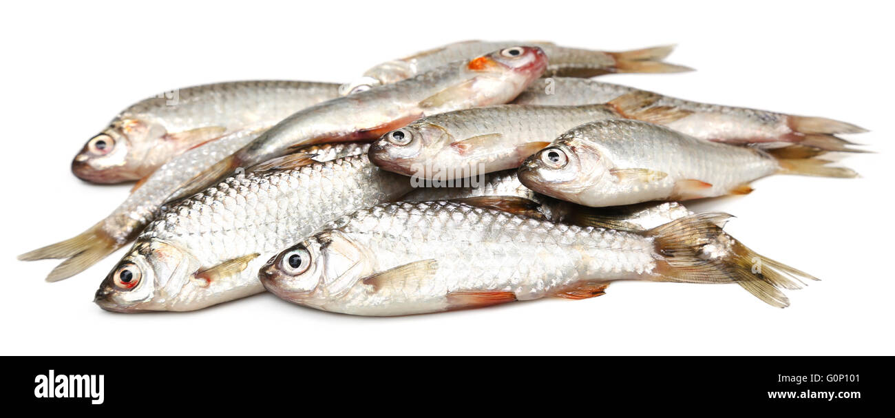 Swamp Barb of Indian subcontinent Stock Photo