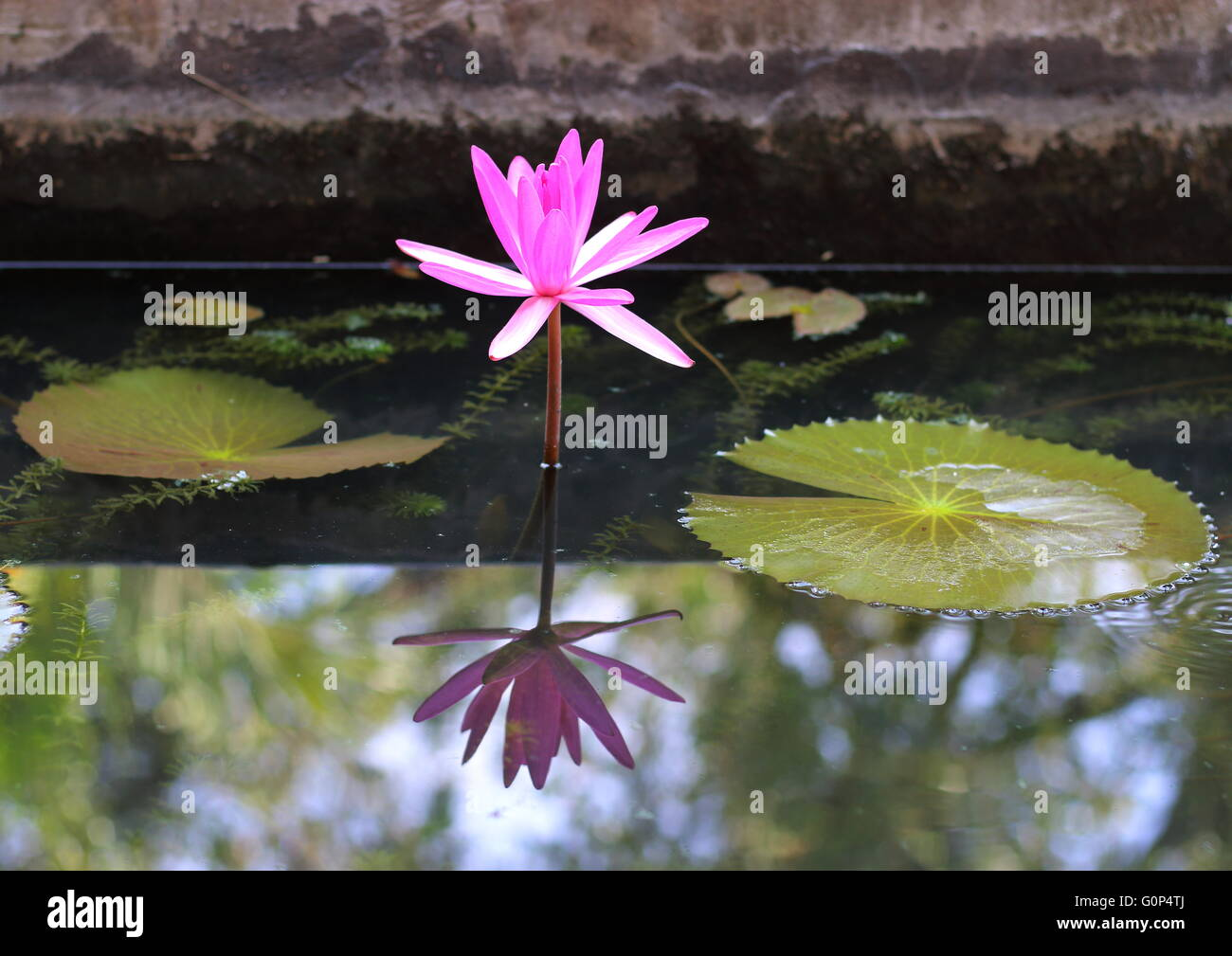 A single pink water lily with its reflection in a pond inside a Buddhist temple. Stock Photo