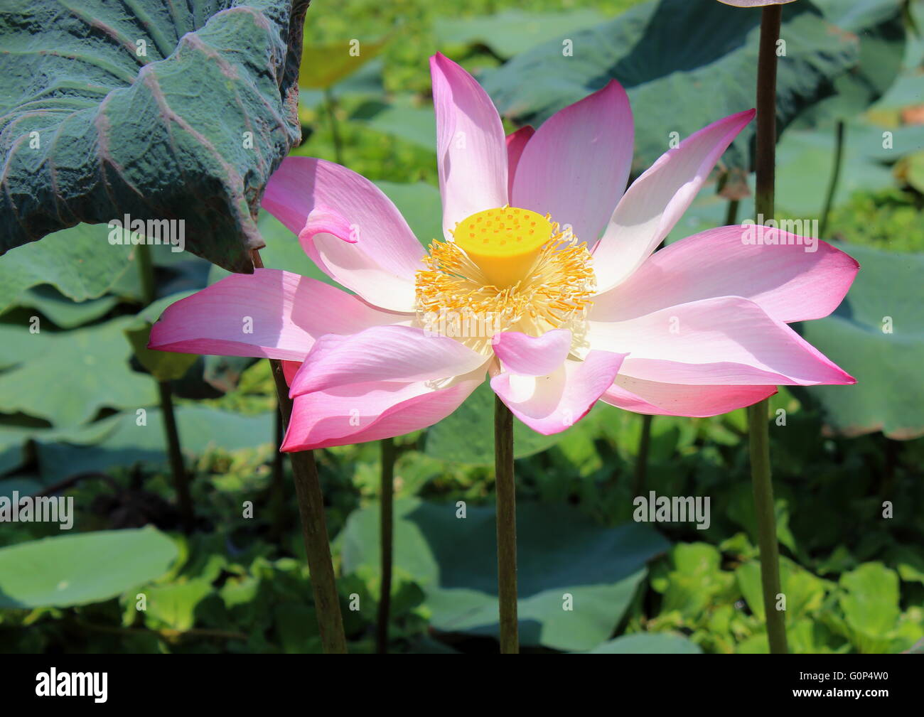 A single pink lotus, nelumbo nucifera, in a pond filled with invasive aquatic plants. Stock Photo