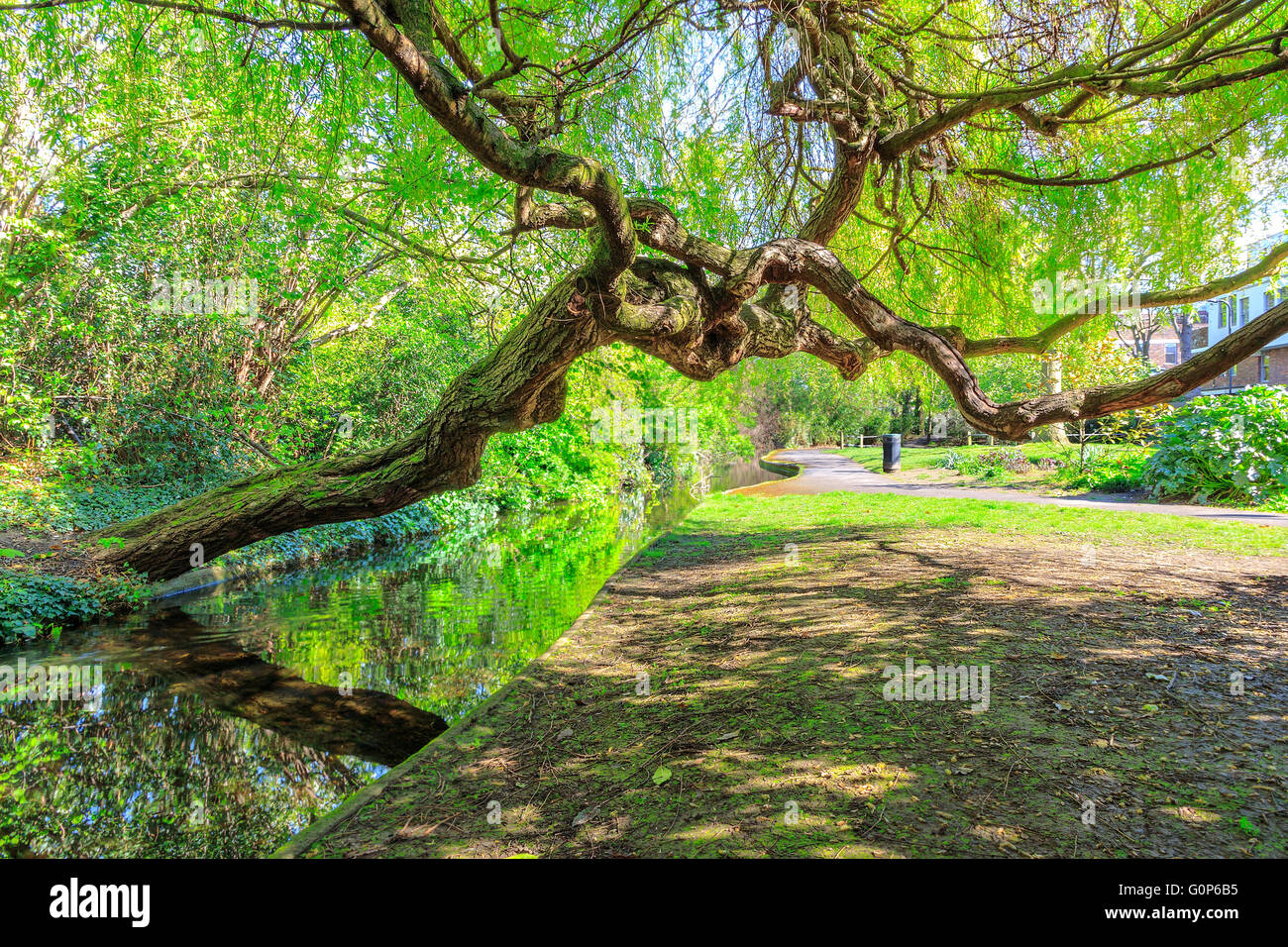 A weeping willow tree leaning over a canal and grassy tow path at New River Walk, Canonbury, London - Stock Image