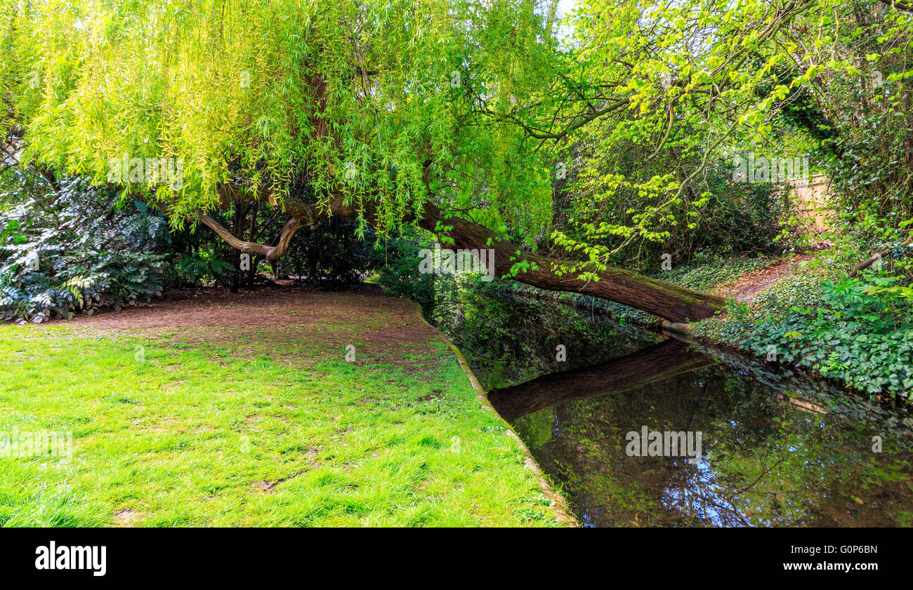 A weeping willow tree leaning over a canal and grassy towpath at New River Walk, Canonbury, London - Stock Image