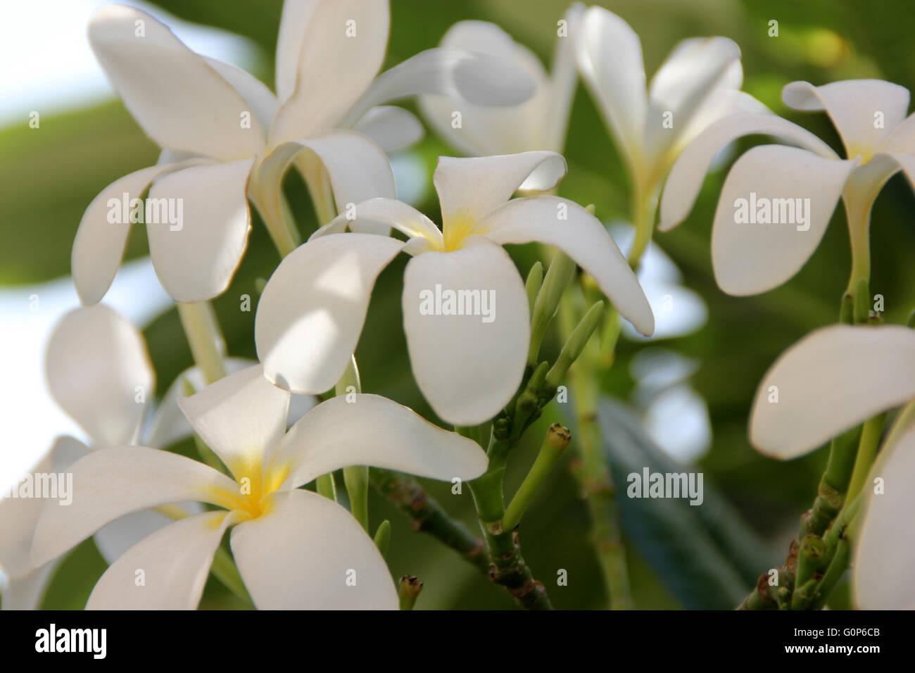 Plumeria Obtusa Stock Photos Plumeria Obtusa Stock Images Alamy
