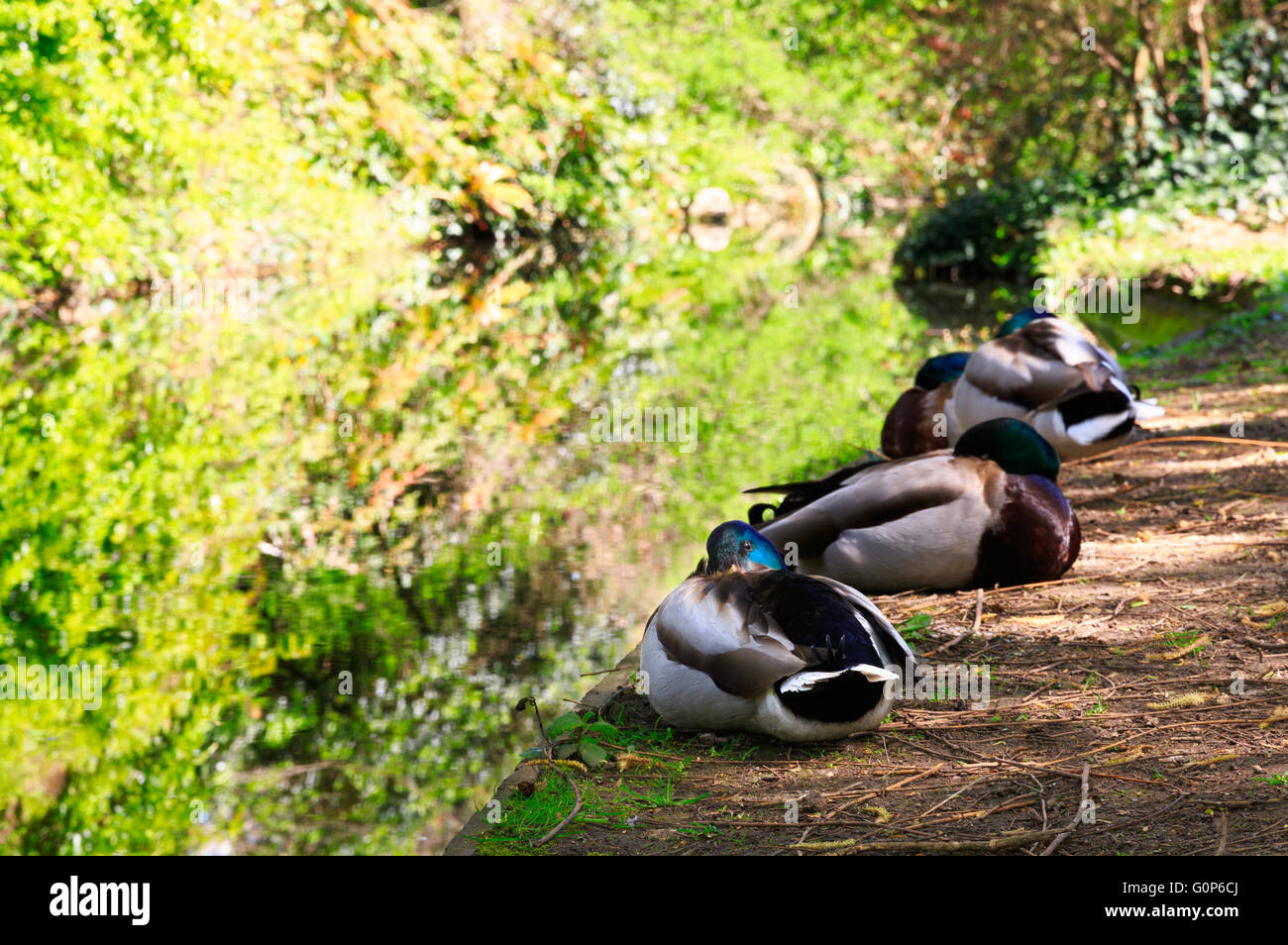 Ducks Resting in dappled sunlight at the Bank of the canal Waterway at the New River Walk, Canonbury, London - Stock Image